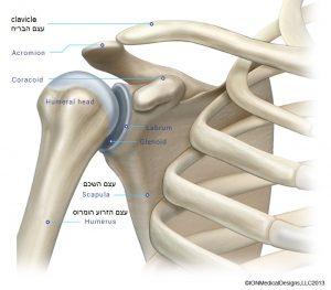 shoulder-bone